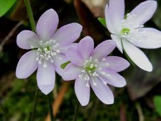 Hepatica. Perennial groundcover. Zones 3 - 9. Partial shade to shade.