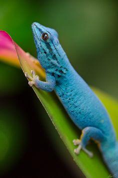Turquoise Dwarf Gecko, E Tanzania