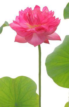 Red Lotus flower  - IMG_7142-1000 by Bahman Farzad, via Flickr