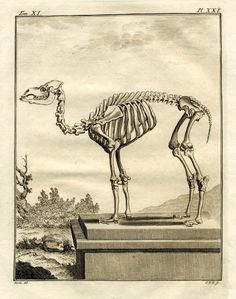 1777 skeleton original antique animal anatomy