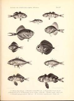 Det Kongelige Danske videnskabernes selskabs skrifter. Naturvidenskabelig og mathematisk afdeling, ser. 5, no.12 (1880)