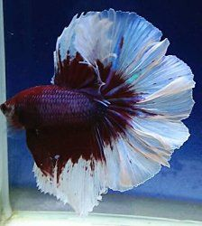 colorful siamese fighting fish bright red blue 25 00 via etsy
