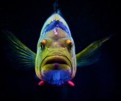 26 Best Oscar Fish Images Aquarium Fish Tropical Fish Oscar Fish