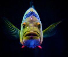 Oscar fish   Flickr : partage de photos !