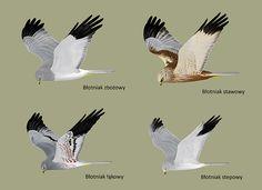 Błotniaki | Harriers