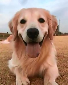 Cute baby animals - coming ober to you to tell you to smile Golden Retriever Cute Funny Animals, Cute Baby Animals, Funny Dogs, Animals And Pets, Cute Puppies, Cute Dogs, Dogs And Puppies, Doggies, Photo Animaliere