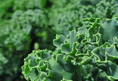 Growing Kale- <3