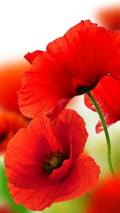 red poppies poppy God's Creations Red Poppies, Red Flowers, Beautiful Flowers, Pictures Of Poppy Flowers, Poppies Art, Art Floral, Flower Photos, Watercolor Flowers, Flower Art