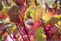 4 plantes aux couleurs d'automne spectaculaires Belle Plante, Plants, Permaculture, Garden, Terraces, Backyard Farming, Flora, Plant
