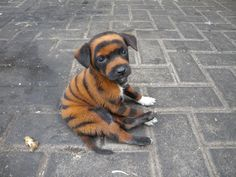 Tiger Dog Is It Real | No, I'm a real tiger ~ Animal Space