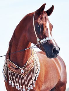 Stunning Arabian horse in it's traditional halter & breast plate <3 They have a very distinctive face.