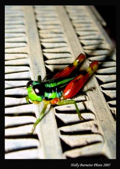 The coolest insect in the rain forest!  Dominical, Costa Rica