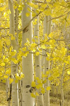 Aspen grove on the Uncompahgre Plateau near Grand Junction, Colorado, October Autumn Scenery, Autumn Trees, Autumn Leaves, Grand Junction Colorado, Aspen Trees, Birch Trees, Beautiful Flowers Wallpapers, Tree Photography, Tree Leaves