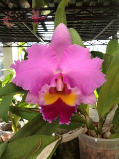 """Lc.  Lake Cachuma """"New Spring"""".  Cattleya.  Purchased from Carib Plants Inc. 2/16."""