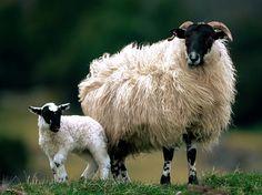 Alba / Scotland - Zulke blackface schapen kwam ik tegen in de hooglanden; soms niet meer dan een rozet wol met in het midden het gebeente, als er weer eens eentje van de berg was gewaaid.