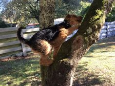 The Versatile Airedale!