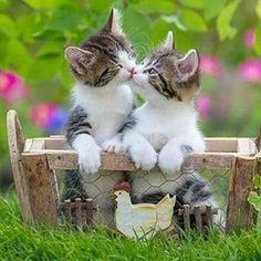 kitten cats, cats and kittens, persian cat kitten, cute baby kittens, Dreamz Coons Kitten Cute Baby Cats, Cute Cats And Kittens, Cute Funny Animals, Cute Baby Animals, Kittens Cutest, Animals And Pets, Funny Cats, Tabby Kittens, Sleepy Animals