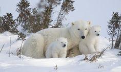 Alaskan Polar Bears Can Now Chill In Protected Area Bigger Than California