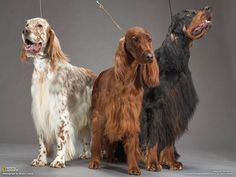 Eng, Irish, and Gordon Setters