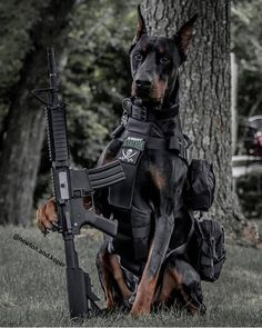 ・・・ Taking tactical to a whole 'nother level😎 We just got our new Colt RIS Airsoft rifle from… Military Working Dogs, Military Dogs, Police Dogs, Scary Dogs, Funny Dogs, Cute Dogs, European Doberman, Doberman Pinscher Dog, Support Dog