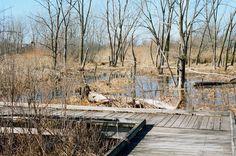 February Wetland by David Uthe on Capture My Chicago // At Lake Sedgewick on a warm sunny Saturday  Leica M3 camera, Leitz Summicron 5cm 1:2 rigid lens, Kodak Portra 400 film, 1/500th @ f/16