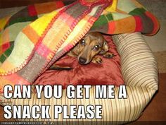 Every wiener dog has this mentality. Burrow and do not disturb.