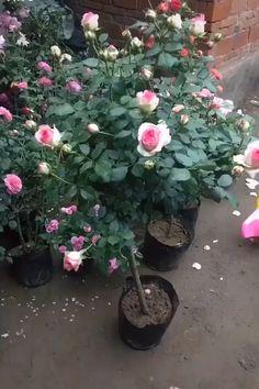 Learn about the dream rose pots 🌹🌹 – diy garden landscaping House Plants Decor, Plant Decor, Planting Roses, Flowers Garden, Garden Crafts, Garden Projects, Comment Planter Des Roses, Grafting Plants, Design Jardin