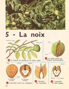 Leçons de choses 1964 : la noix French Teacher, French Class, Teaching French, Preschool Kindergarten, Classroom Activities, Ontario Curriculum, French Immersion, Nature Journal, Nature Study