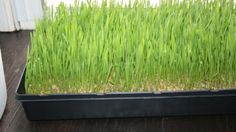 How to grow wheat grass step by step // for the bunny?