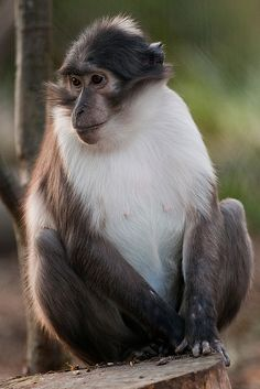 White-naped Mangabey at ZSL London Zoo, via Flickr.