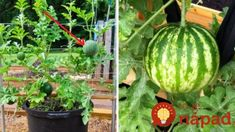 Vypestujete si najchutnejšie melóny v kvetináči: Je to jednoduché a nepotrebujete ani záhradu! Watermelon, Pergola, Pumpkin, Gardening, Fruit, Vegetables, Plants, Outdoor, Food