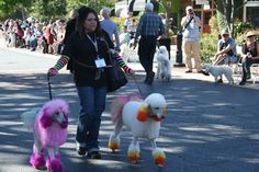 Colorful Standard Poodles at Poodle Day 2013 Carmel, CA
