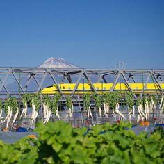 .Mt.fuji and yellow shinkansen .Location Shizuoka Japan .2015.12.09 . .久々のドクターイエロー .雲もなく富士山も見えてたので .今日はバッチリ撮れそうとウキウキ . .現地に着くと予定してた撮影場所は .工事中で立入禁止 . .違う場所を見つけ何とかなったと思ったら .工事中のダンプがお昼休憩らしく3台登場 .縦列でバッチリ入ってるじゃん . .こうやって撮るしかありませんでした .畑の大根と手前の野菜も一緒に .まぁこんなこともなければ .このアングルもなかったですね  #富士山#ドクターイエロー#新幹線#えみ鉄 #team_jp_ #icu_japan #lovers_nippon  #loves_nippon #loves_landscape  #picture_to_keep #ptk_japan by vitzemi