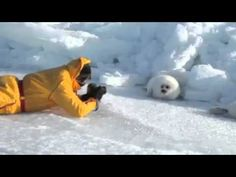 Lazy Harp Seal- this is LITERALLY like my fav video ever. WATCH. NOW.