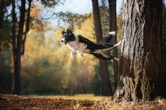 Border Collie. By Anna Averianova.                                                                                                                                                     More