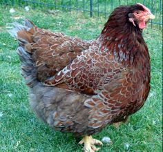 Blue Laced Red Wyandotte, looking for one to add to the flock!