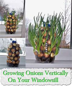 Fresh onions are a always wonderful and delicious ingredient that can be added to a variety of homemade recipes though aren't always the easiest to come by. Grocery store onions may lack in fresh flavour and can cost a lot for something that you can grow your self for next to nothing,