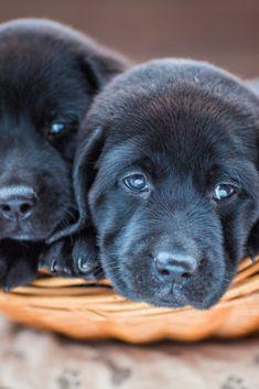 Cute little puppies Golden Retriever Labrador, Golden Retrievers, Cute Little Puppies, Black Labs, I Love Dogs, Dog Cat, Labradors, Pets, Dog Stuff