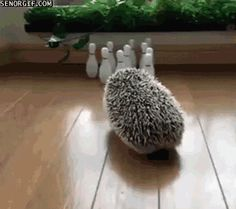 Looks like Jawn has taken up bowling. <--- I think every cute hedgehog post online has turned into a Jawn post.
