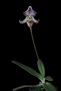 Paphiopedilum fairrieanum. From the Indian Himalayas and Bhutan where it grows at an altitude of 1300-2200 m.