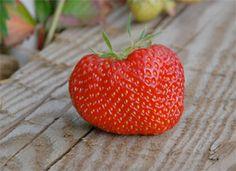 Up next? Fumigant-free strawberry fields. | www.panna.org/blog/next-fumigant-free-strawberry-fields