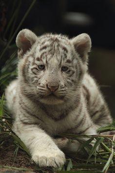 Bébé tigre blanc !   Flickr - Photo Sharing!