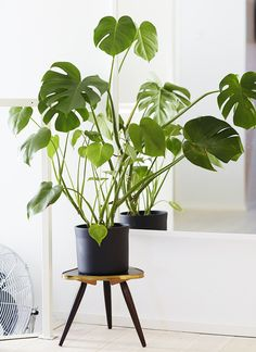 Philodendron monster