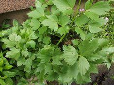Aga Radzi: Lubczyk -jak używać i jak przechować na zimę? Healing Herbs, Fig, Smoothie, Spices, Health, Gardens, Spice, Health Care, Ficus