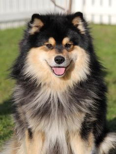 What a gorgeous boy! Animals And Pets, Baby Animals, Cute Animals, All Dogs, Dogs And Puppies, Pomsky, Smiling Dogs, Kenzo, Dog Life