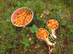 Kuksa, lakka ja suopursu - photo Anu Romppainen