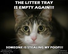 stealing my poop! Funny Cat Memes, Funny Cats, Funny Animals, Cute Animals, Cats Humor, Funny Bunnies, Cute Cats, Crazy Cat Lady, Crazy Cats