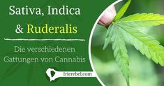 Neben allen Informationen rund um den Anbau und über die Wirkungsweise von Cannabis ist es wichtig, die Biologie die hinter den verschiedenen Cannabis Gattungen steht zu verstehen. Cannabis ist…Mehr Plant Leaves, Herbs, Plants, Mary, Hemp Seeds, Biology, Round Round, Tutorials, Herb