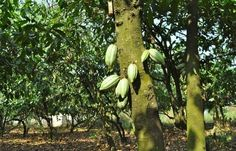 GHANA TO INTRODUCE NEW COCOA PLANT THAT BEARS FRUIT IN 18 MONTHS