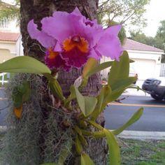 Cattleya Orchid, Beautifully Florida